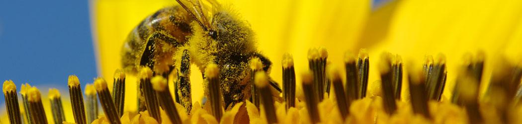 Biene sammelt Blütenstaub für Honig